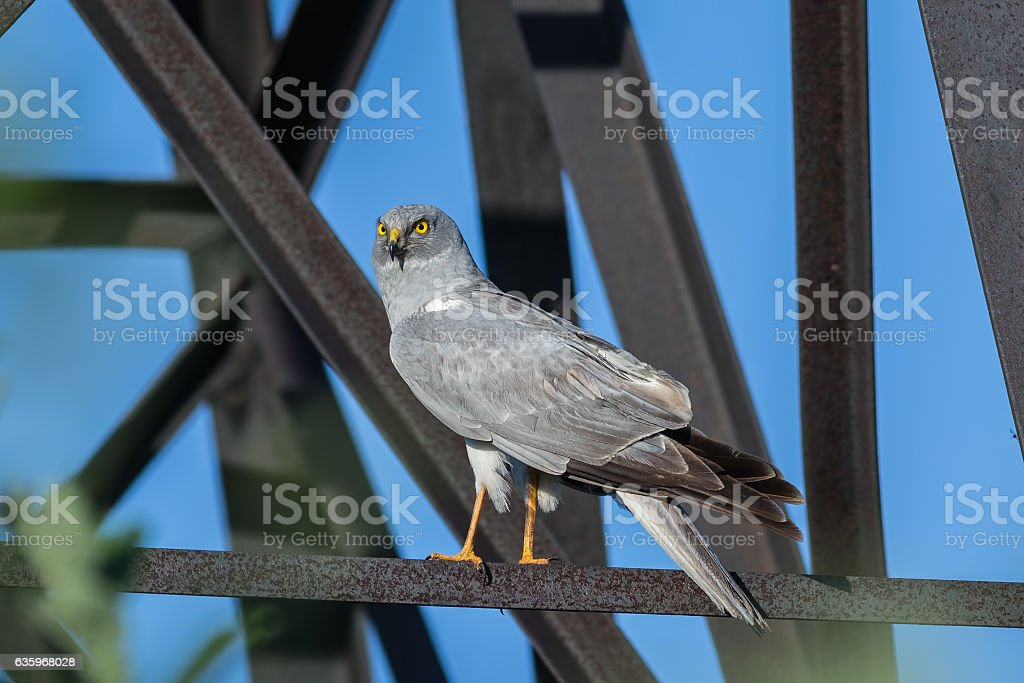 Northern Harrier stock photo