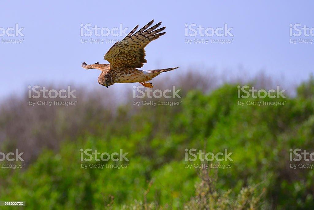 Northern Harrier stock photo