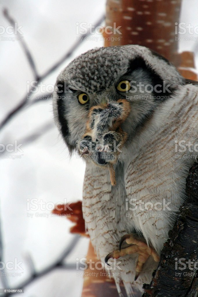 Northern Hawk Owl  (Surnia ulula), Kamchatka stock photo