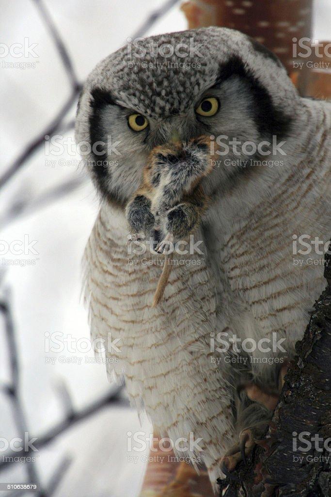 Northern Hawk Owl  (Surnia ulula), Kamchatka, Russia stock photo