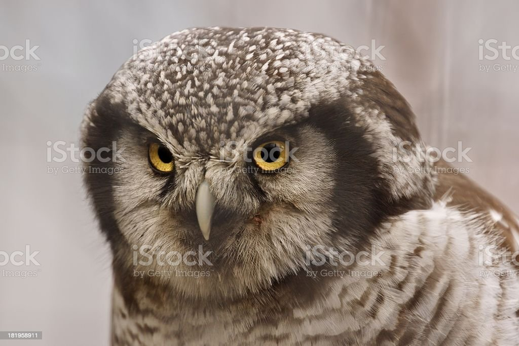Northern Hawk Owl (Surnia ulula), portrait royalty-free stock photo