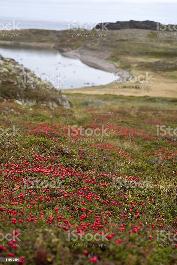 northern landscape with red berries royalty-free stock photo