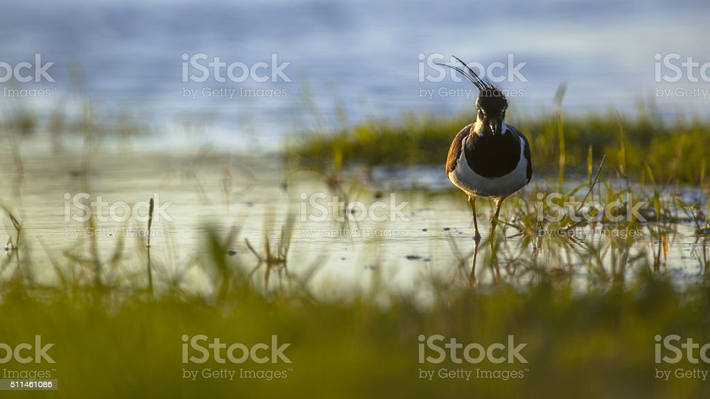 Northern lapwing in the early morning sun stock photo