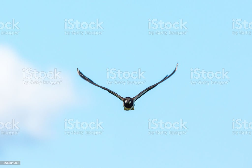 Northern Lapwing who comes flying in the sky