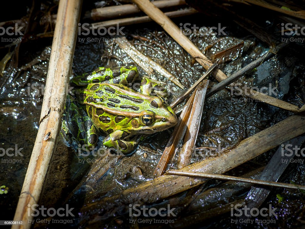 Northern Leopard frog in a marsh stock photo