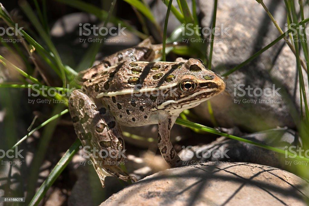 Northern leopard frog near Gunnison River western Colorado stock photo
