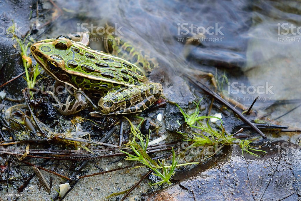 Northern Leopard Frog (Lithobates pipiens) on Lake Shoreline stock photo