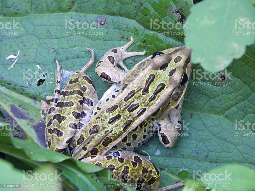 Northern Leopard Frog on Skunk Cabbage Leaf stock photo