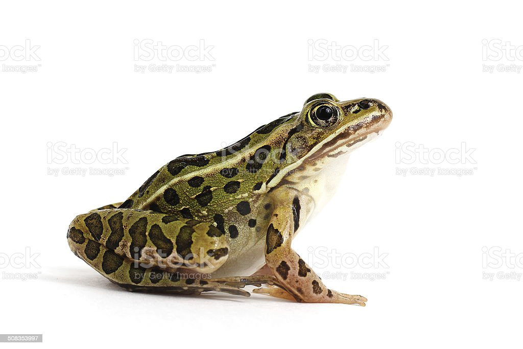 Northern Leopard Frog (Lithobates pipiens) stock photo