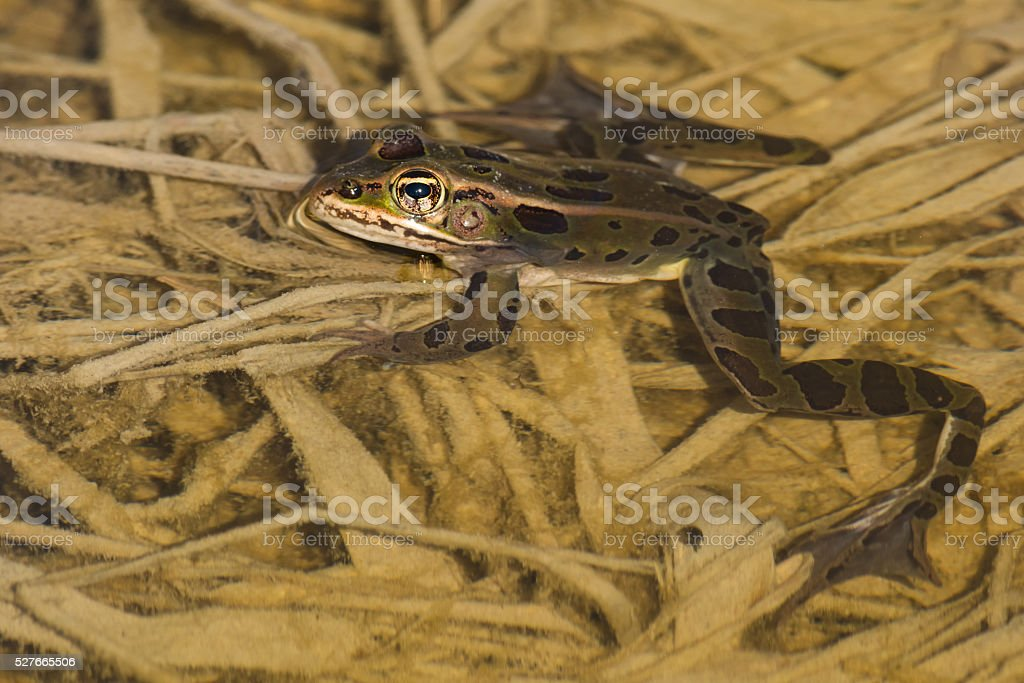 Northern Leopard Frog stock photo