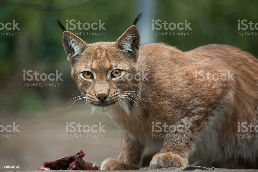 Northern lynx (Lynx lynx lynx). stock photo