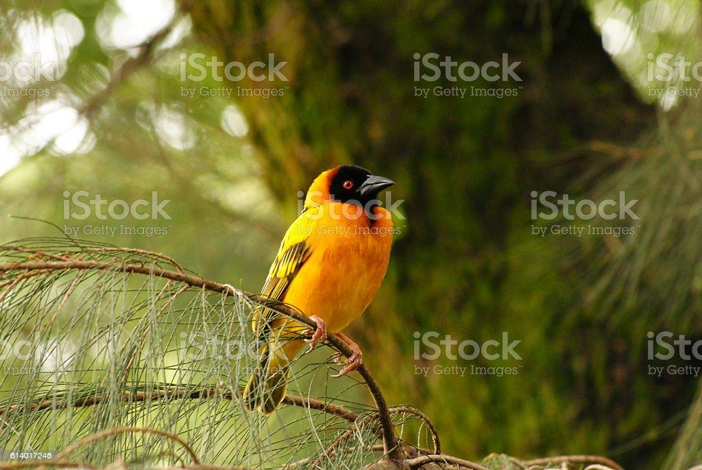 Northern Masked Weaver Bird, Ethiopia stock photo