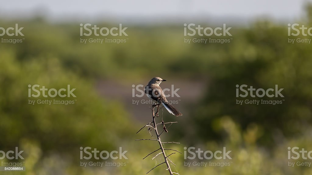 Northern Mockingbird, Merritt Island National Wildlife Refuge, F stock photo