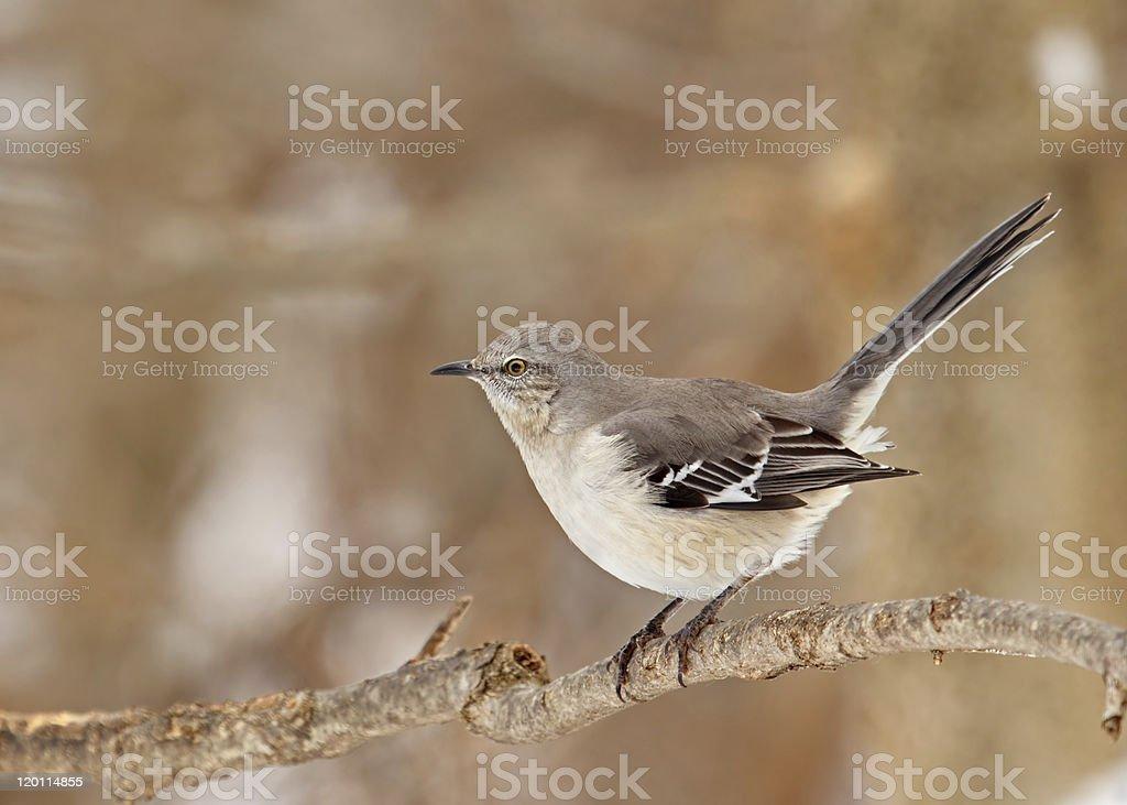 Northern Mockingbird, Mimus polyglottos royalty-free stock photo