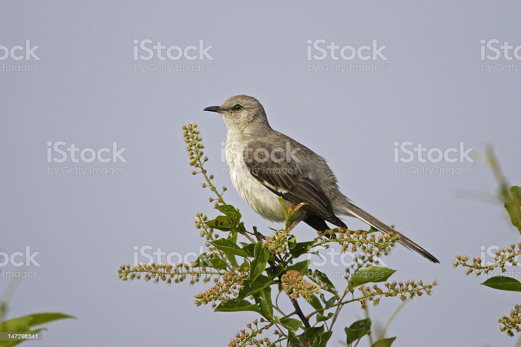 Northern Mockingbird (minus polyglottos) stock photo