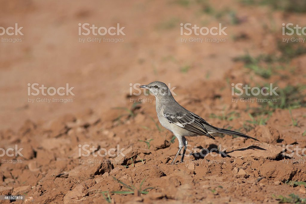 Northern Mockingbird royalty-free stock photo