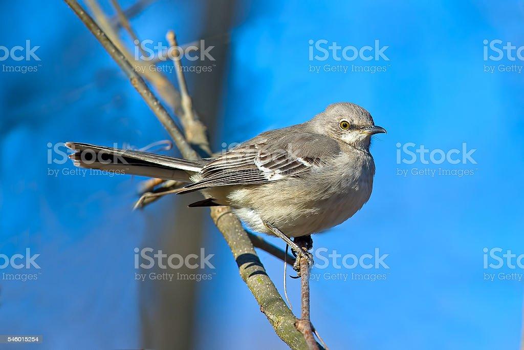 Northern Mockingbird stock photo