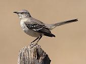 A northern mockingbird staring west