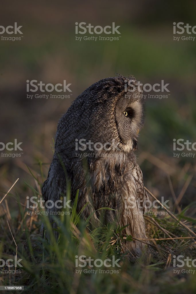 Northern owl stock photo