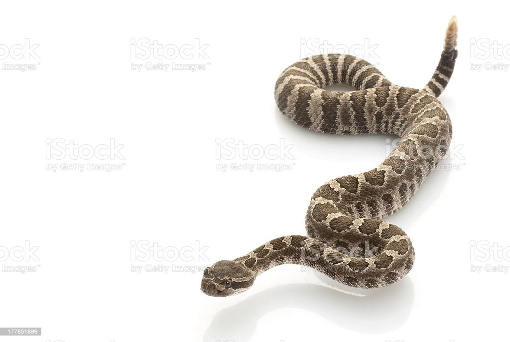 Northern Pacific Rattlesnake stock photo