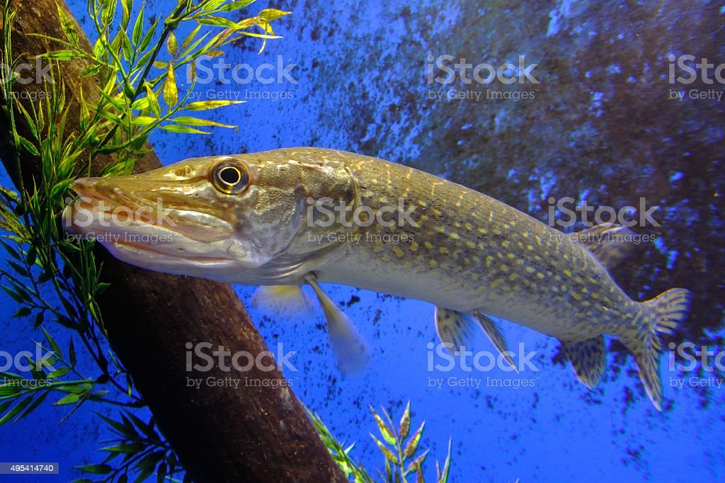 Northern pike (Esox lucius) stock photo