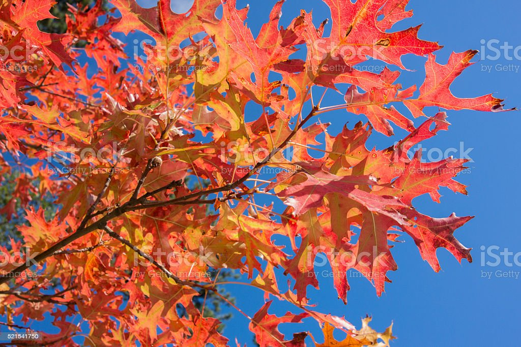 Northern Pin Oak with Red Autumn Leaves stock photo