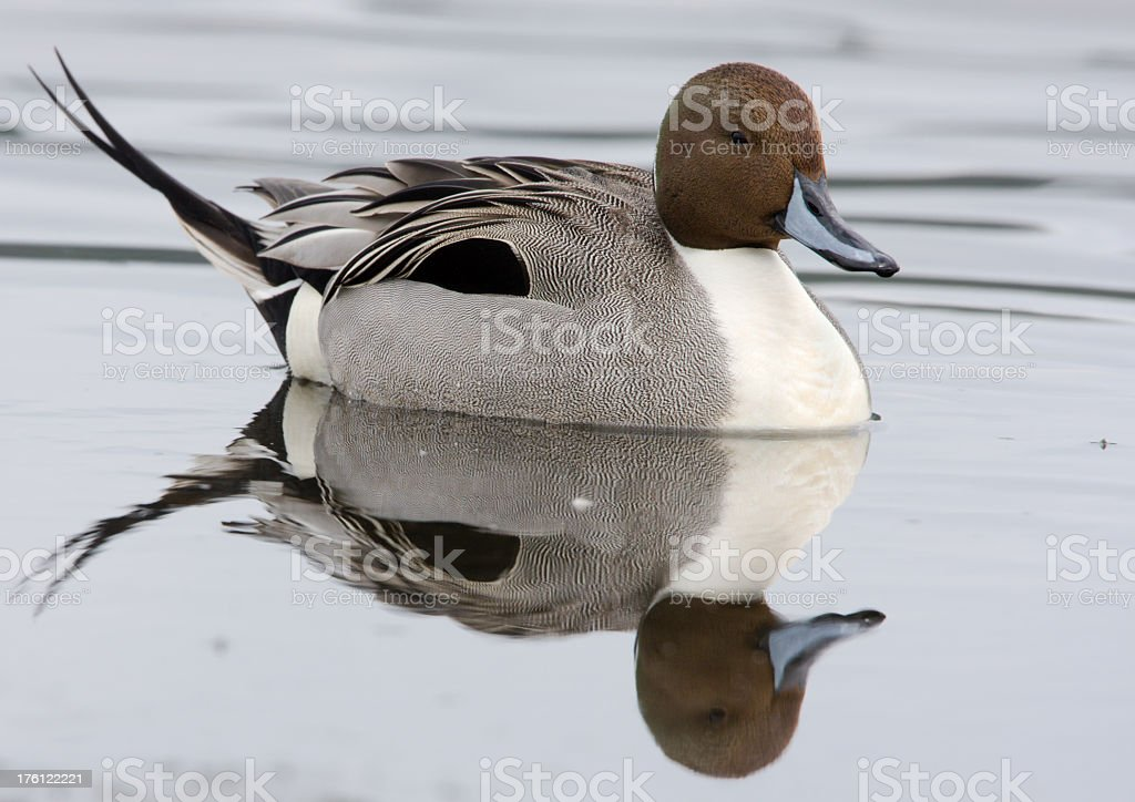 Northern Pintail - Reflection stock photo