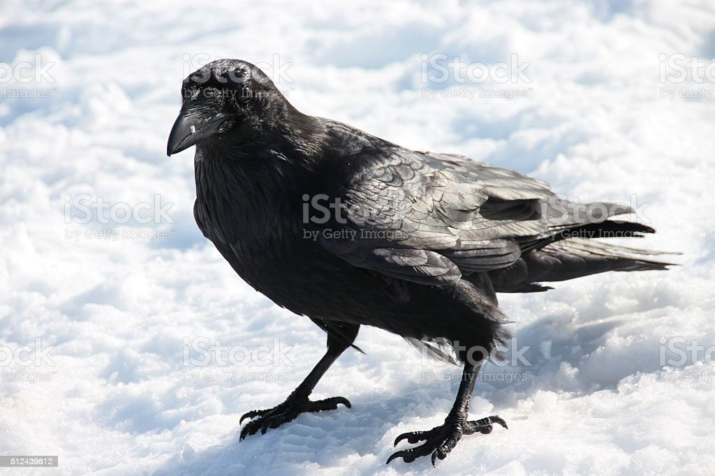 Northern Raven stock photo