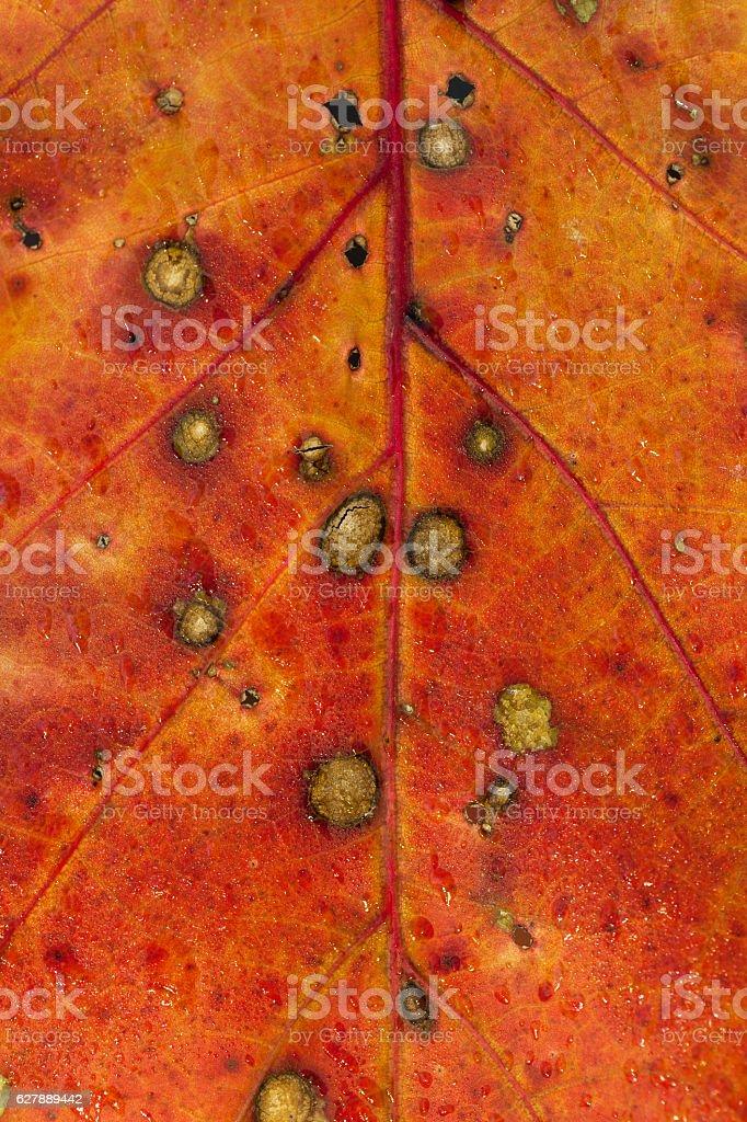 Northern red oak lea stock photo