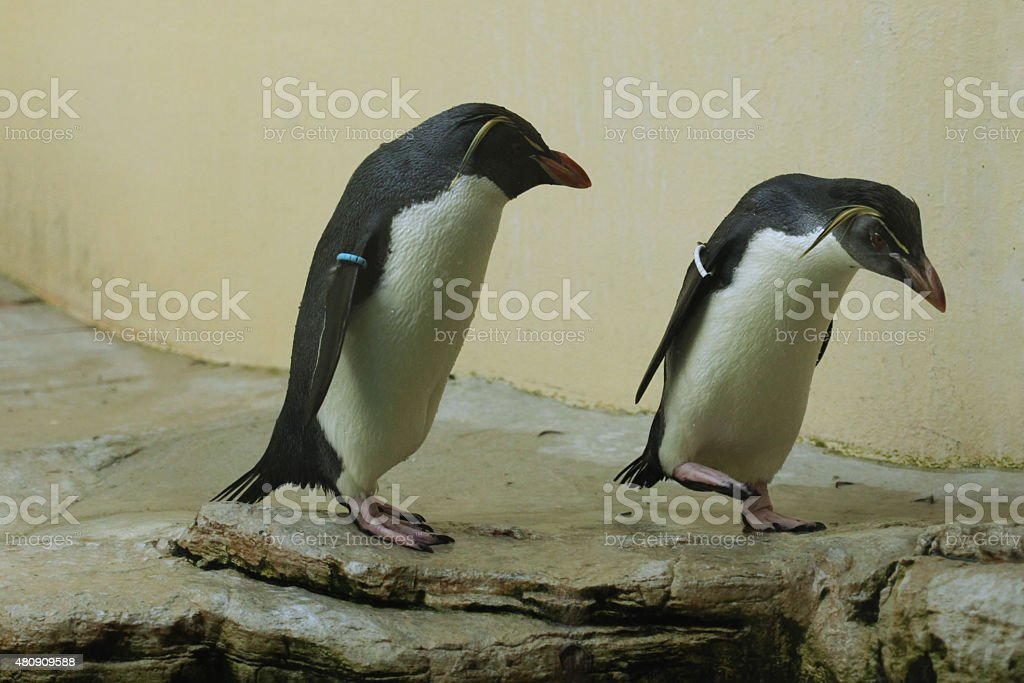 Northern rockhopper penguin (Eudyptes moseleyi). stock photo