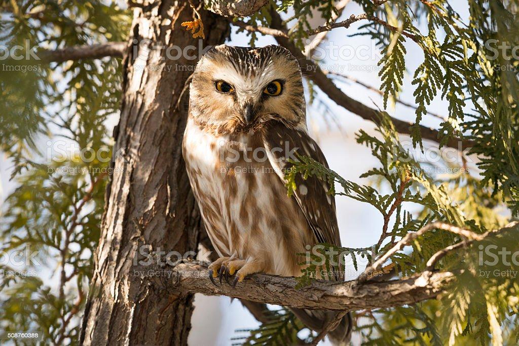 Northern Saw-whet Owl, Aegolius Acadicus stock photo