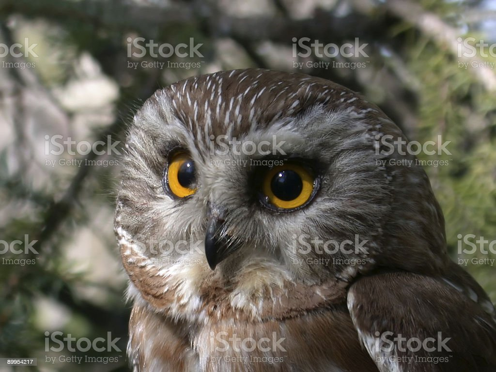 Northern Saw-whet Owl in spring forest royalty-free stock photo