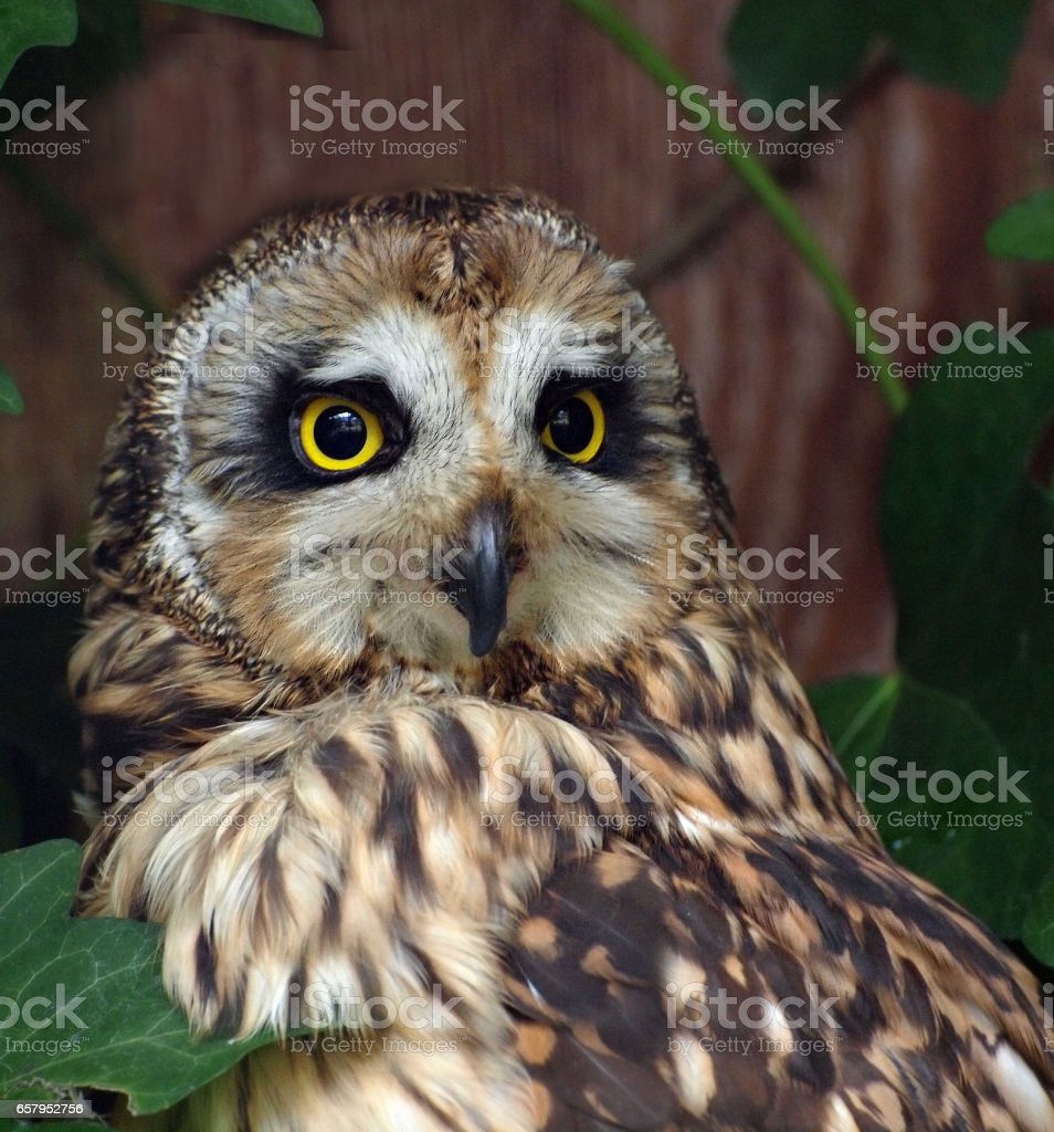 Northern Saw-whet Owl  (Aegolius acadicus)  in the tree branches stock photo