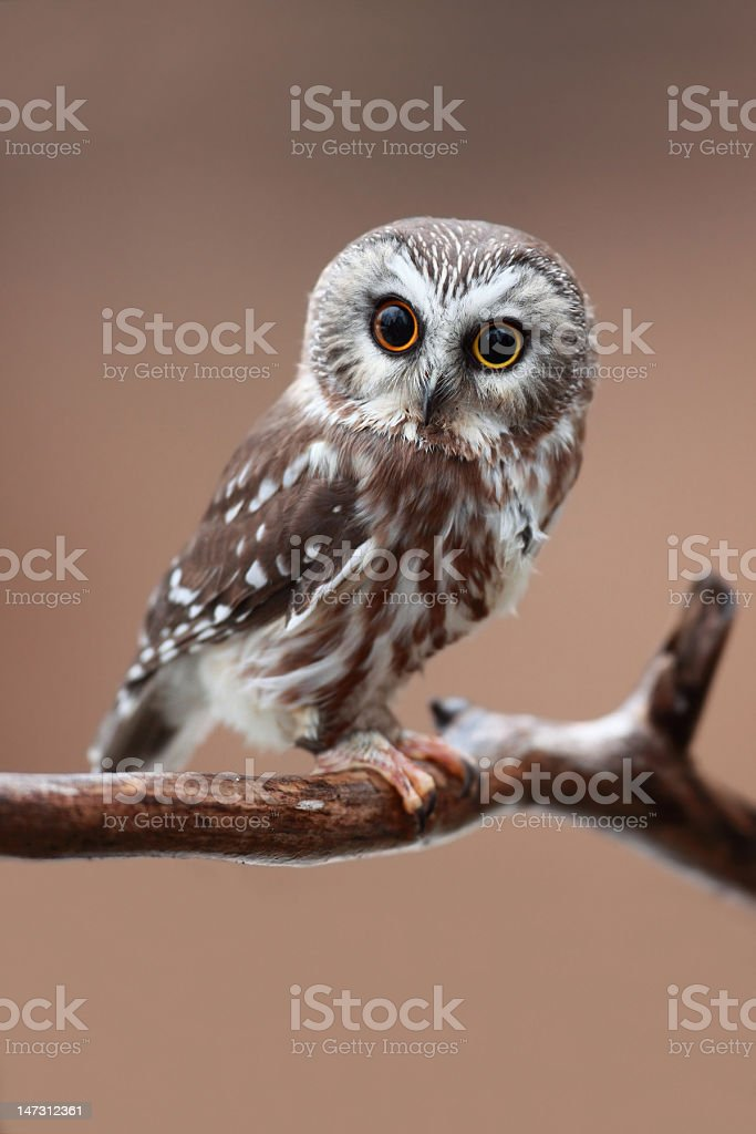 Northern saw-whet owl on tree branch royalty-free stock photo