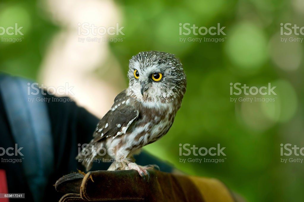 Northern Saw-Whet Owl perching on human hands stock photo