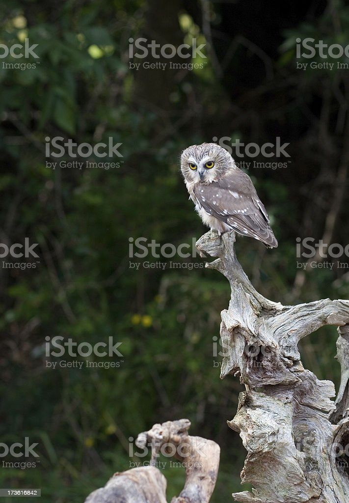 Northern Saw-whet Owl stock photo