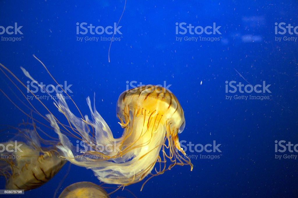 Northern Sea Nettle stock photo