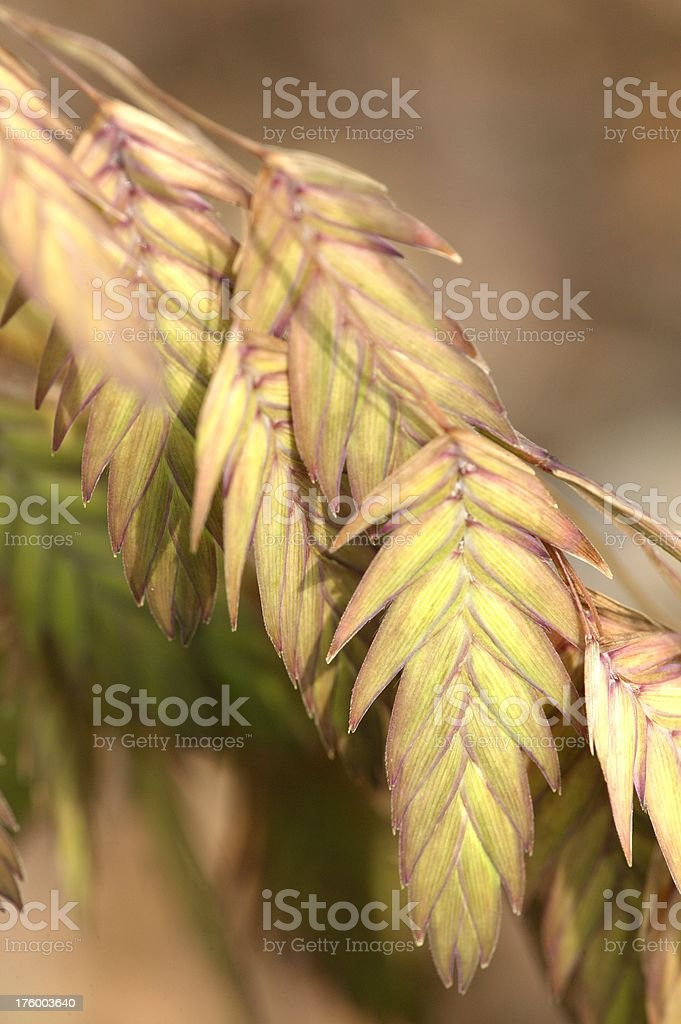 Northern Sea Oat Grass Leaves stock photo