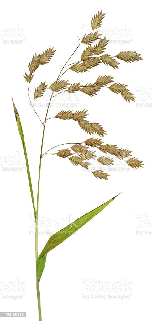 Northern Sea Oats  XXL royalty-free stock photo
