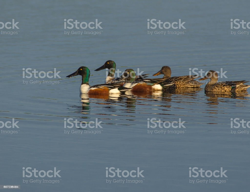 northern shoveler flowck merritt stock photo