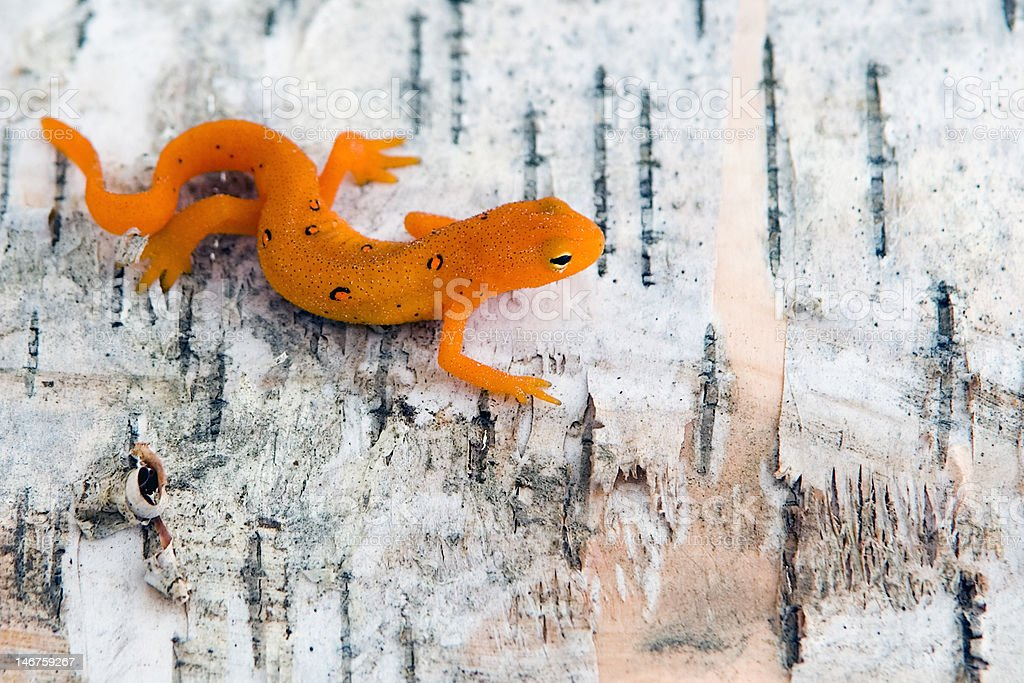 Northern Spotted Newt stock photo