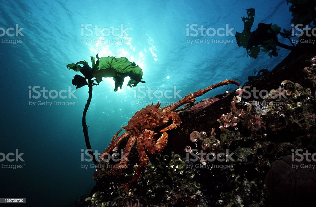 Northern stone crab stock photo