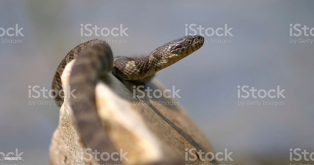 Northern Water Snake royalty-free stock photo