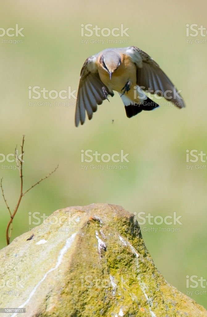 Northern Wheatear Bird About to Land on Rock royalty-free stock photo