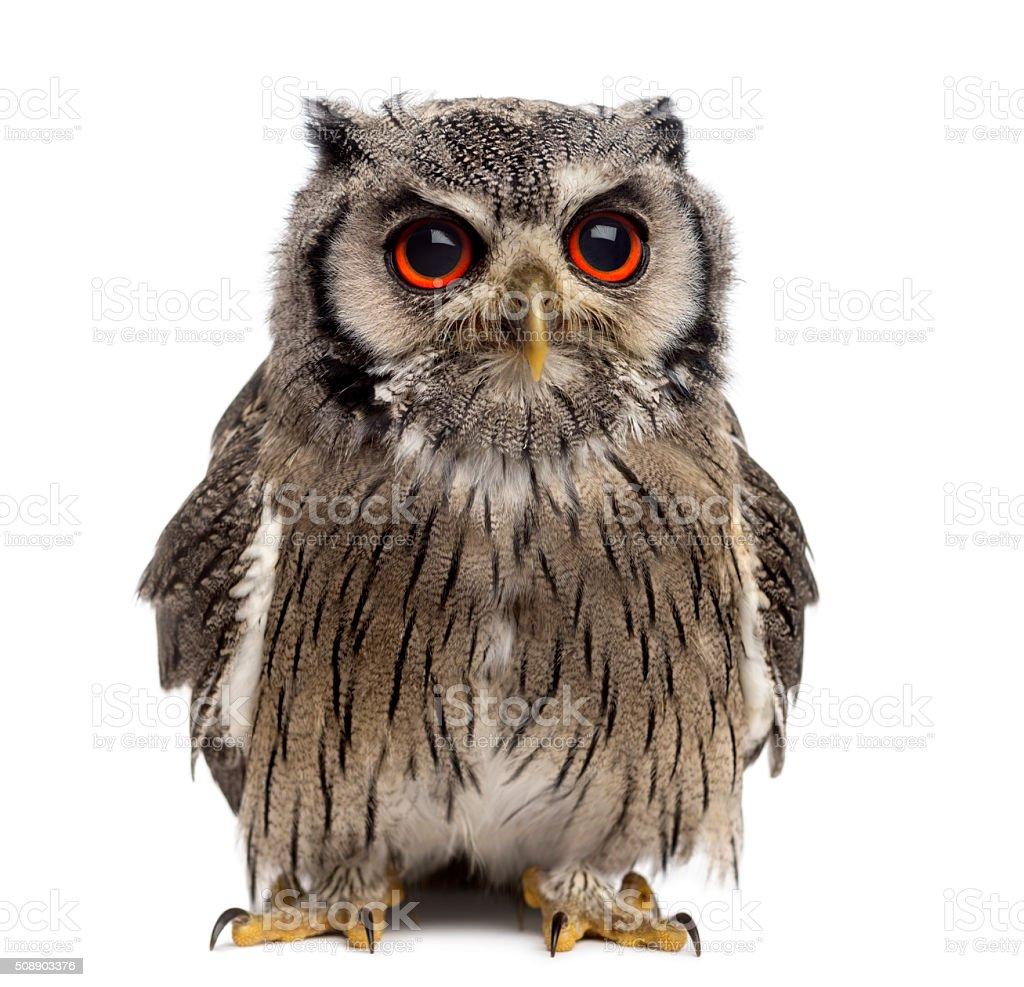 Northern white-faced owl - Ptilopsis leucotis (1 year old) stock photo