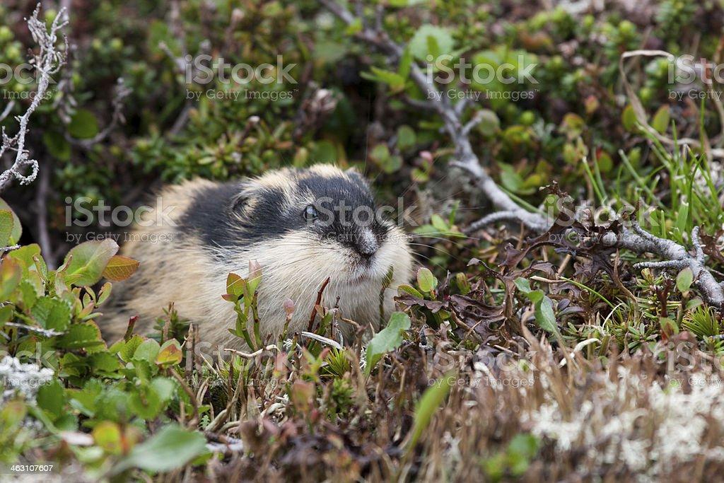 Norway lemming (lemmus lemmus), Berglemming stock photo