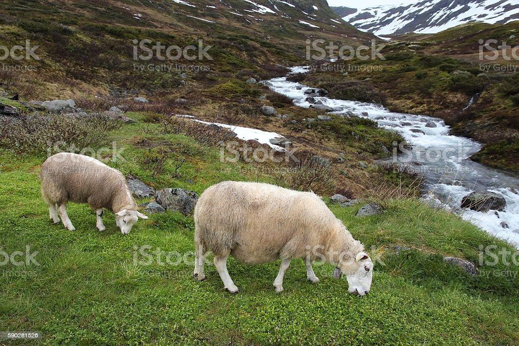 Norway sheep stock photo