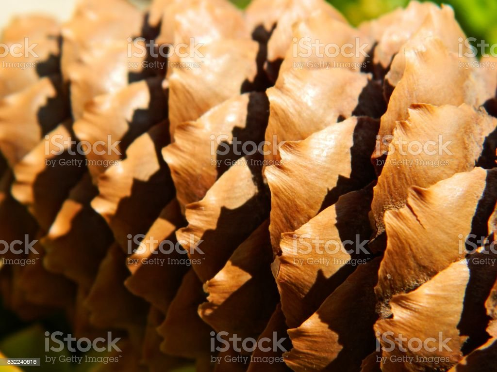 Norway spruce cone stock photo
