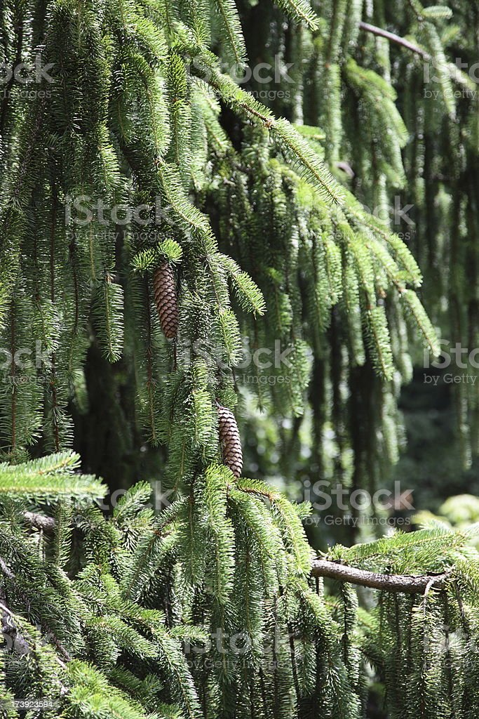 Norway Spruce stock photo