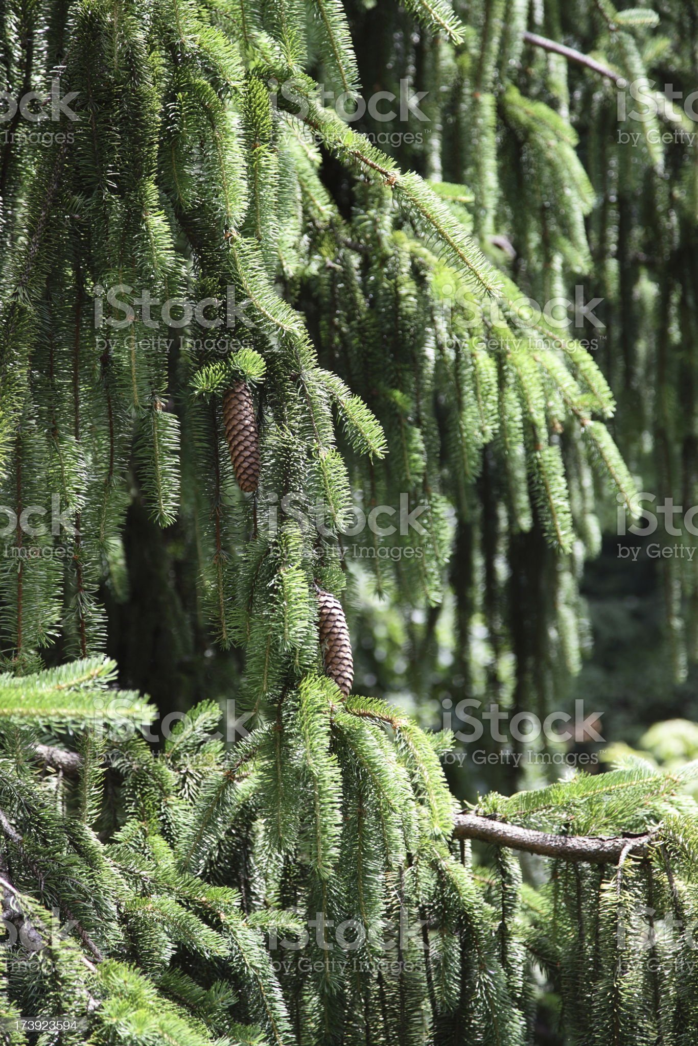 Norway Spruce royalty-free stock photo
